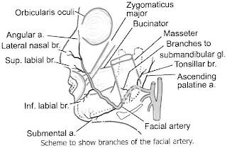 Facial Artery Diagram - Find Wiring Diagram •