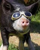 noua generatie de porci