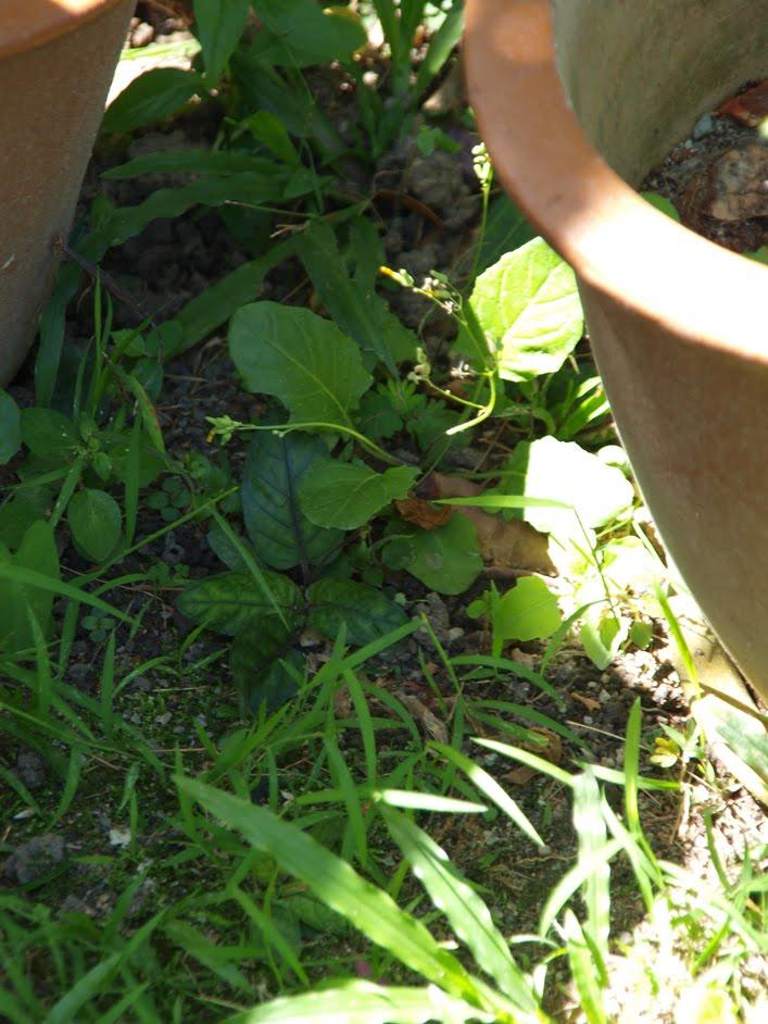 dukung anak as medicine Mar 1 dukung anak – phyllanthus amarus.