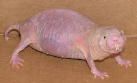 bizarre mole rat animal