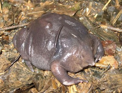 ugly strange frog purple frog