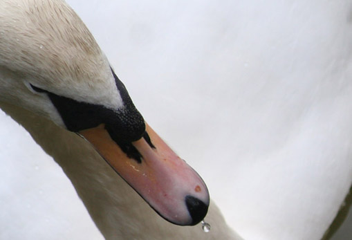 [swan2]