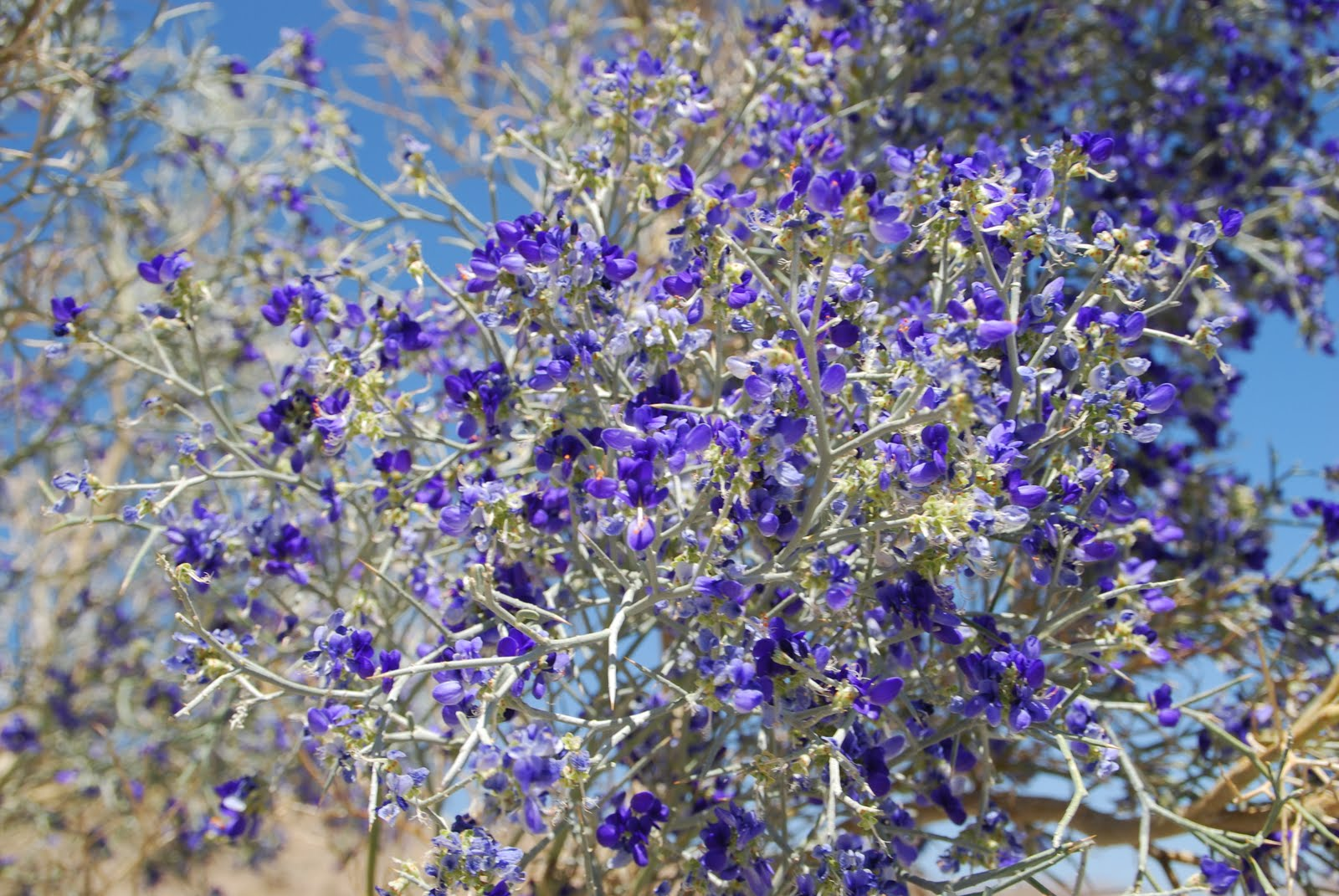 Desert garden smoke tree blossomstodays flowers 062710 the smoke trees here in our valley are blooming right now and i stopped one afternoon last week to take some photos of them the usually gray trees and now mightylinksfo