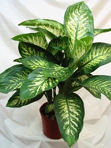 Viriato pedrada planta venenosa chama se difembaquia for Plantas decorativas interior venenosas