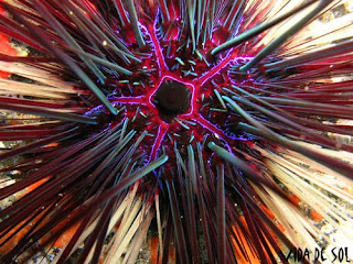 Diadema antillarum oursin diademe tenerife