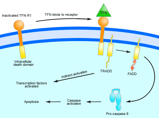 tnf signaling in apoptosis