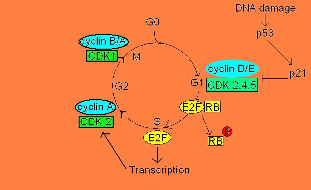 restriction point in cell cycle