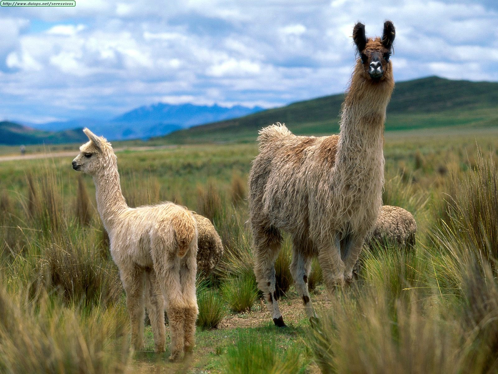 1000+ images about Chile My Country on Pinterest | Chile ... Llamas The Animal