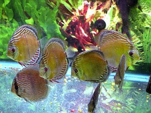 Discus fish discus fish types natural wild species for Discus fish types