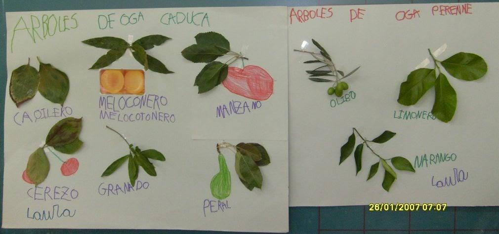 El dia a dia de mi cole laura nos explica rbol de hoja for Arboles frutales de hoja perenne