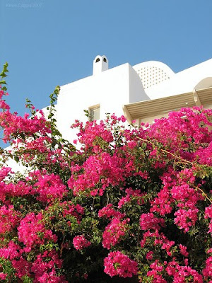 Greek color greek color grecian flora - Flowers native to greece a sea of color ...