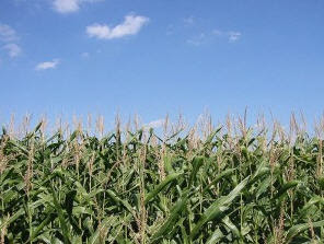 biofuel crops from Maize