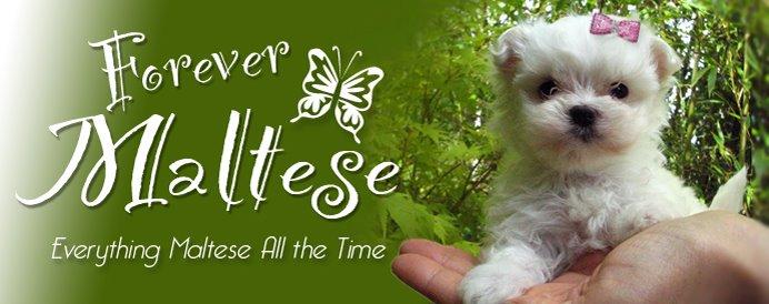 FOREVER MALTESE • puppies@forevermaltese.com