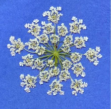 Pressed Queen Ann's Lace