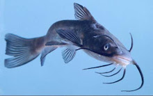 Catfish showing barbels