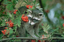 Common Raccoon with Rowan Sorbus aucuparia Germany