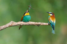 European Bee-eater juggling dragonfly