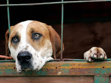 Fox Hound Waiting to be let out