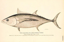 Long Finned Tunny aka Albacore