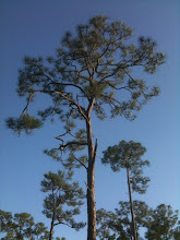 Trees @ Corkscrew Swamp