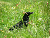 Big Joe, a crow friend