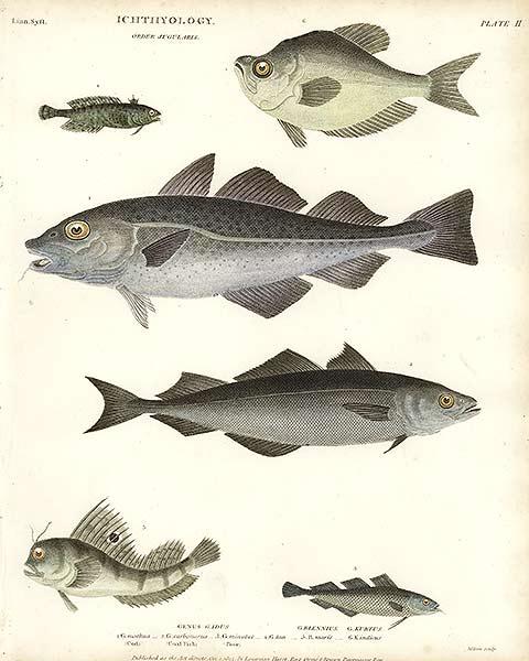 Ikan Kod Khasiat