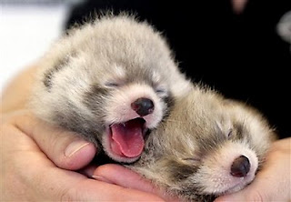 the two Red Panda cubs