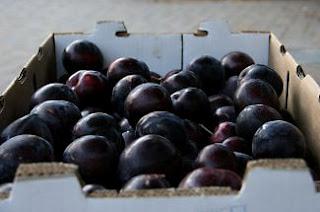 dogalicious Santa Rosa plums