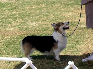 Bette the tricolor Pembroke in the ring
