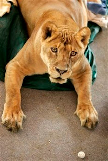 Shackle the lioness sought refuge from Hurricane Ike