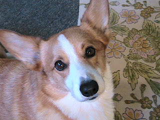 Beautiful Pembroke Welsh Corgi Emma Marie