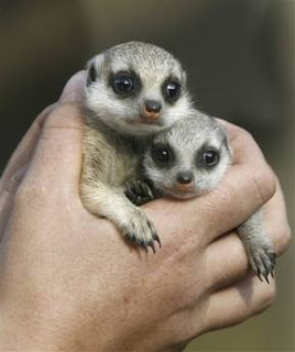 Zanzibar and Nairobi Meerkat at 28 days old