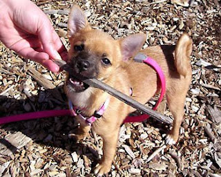 Violet loves to chew on tasty sticks.