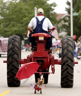 little Yorkie dog dragged along 4th of July parade route