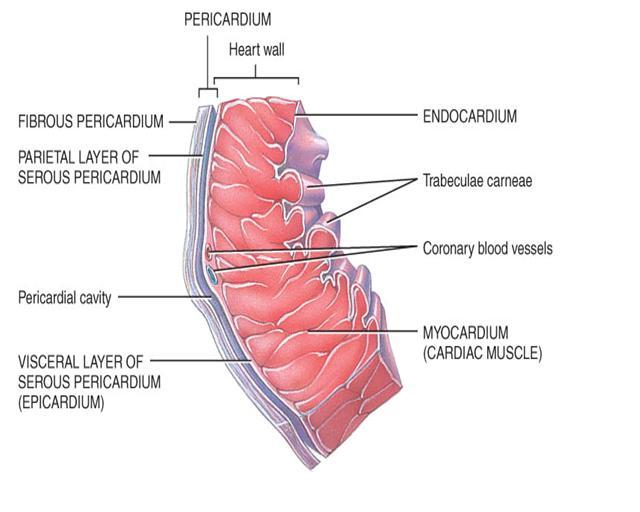 medicina anatom a del coraz n