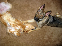 Golden Retriever Playing with German Shepherd