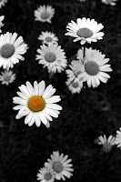 Daisies: Focal Black & White