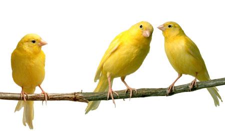 นกคีรีบูน (canaries)