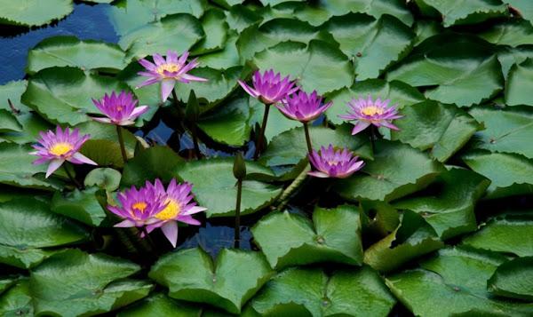 016- Lotus bahçesinden...