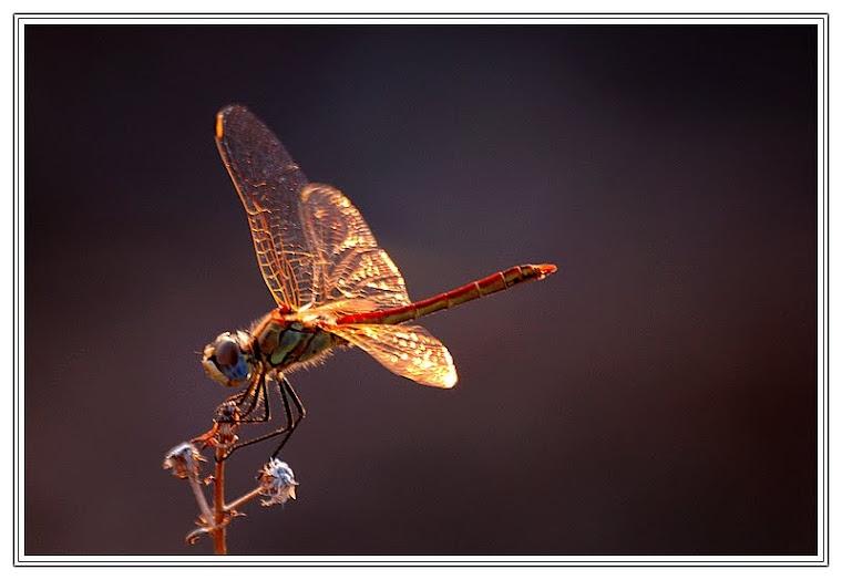 265 - Altın kanatlı yusufçuk