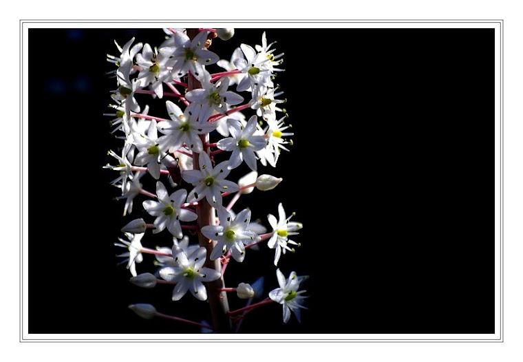 285 - Urginea maritima (Ada soğanı)
