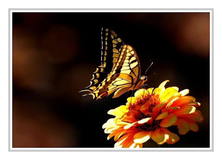 296 - Bahçemin kelebeklerinden...