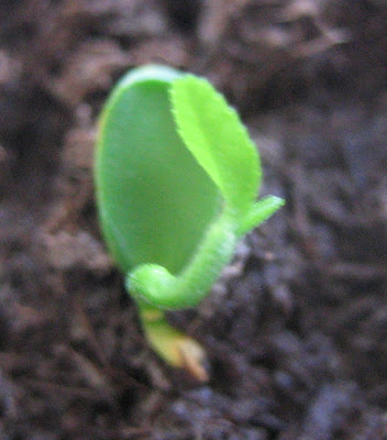 Lemon seed germination