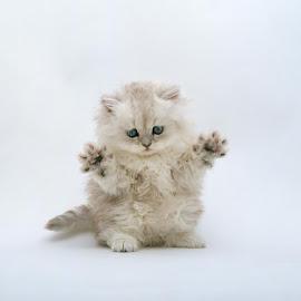 kucing persia lucu @ Digaleri.com