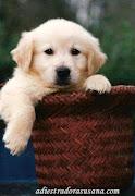 Golden Retriever. Una raza de perros muy noble.