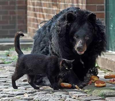 cat vs bear, kucing vs beruang, kucing lawan beruang, cat fight bear
