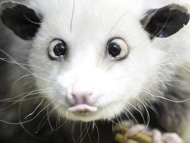 cross-eyed opossum has turned into Germany's new media darling.