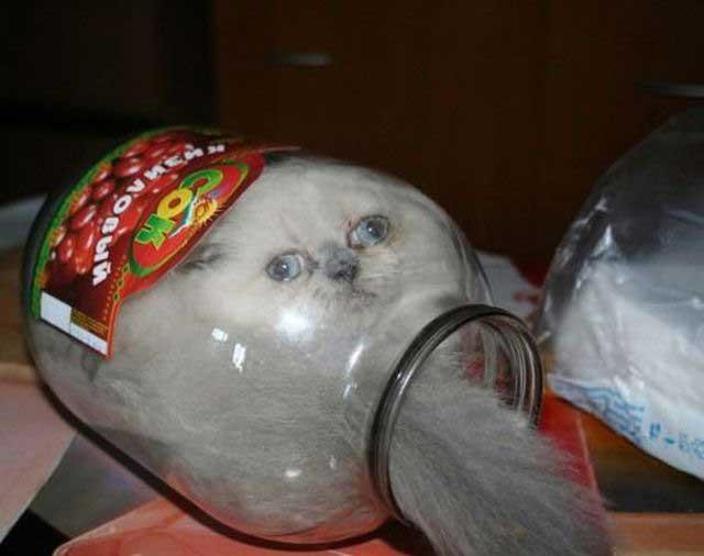 kavanoza giren kedi
