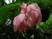 pale pink mussaenda