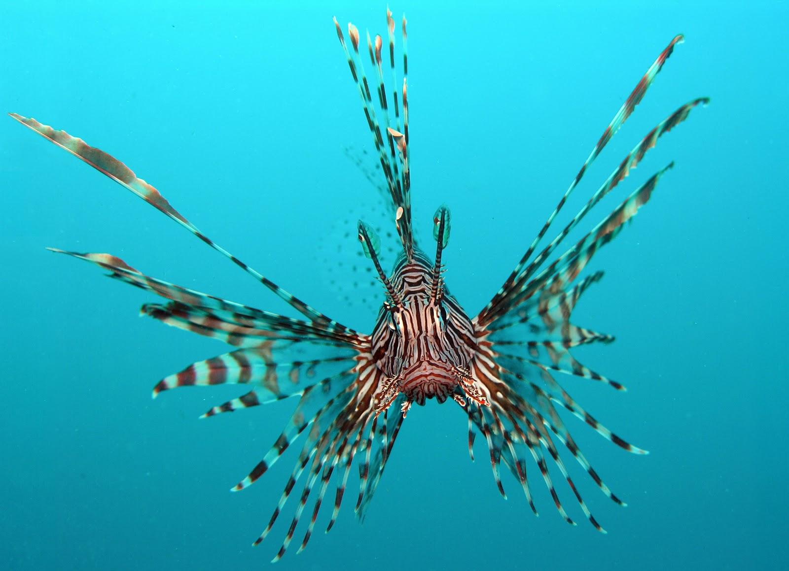 Deep Sea Bloggerhead: Venomous Lionfish!